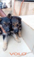 GSD puppies available